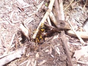 死んだ蜂は蟻の餌食に…