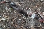 近所にあった鹿の死体
