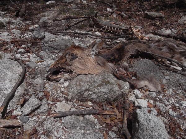 鹿の死体その1。