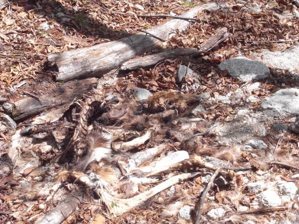 鹿の死体2。ほぼ完食。