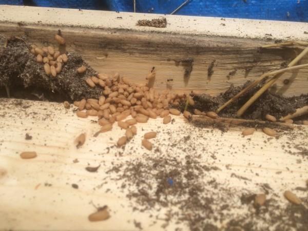 田舎のアリは卵がでかい